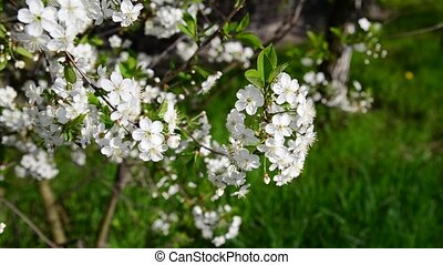 Cherry Orchard abundantly blooming in a spring