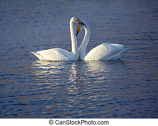 Couple of whooper swans - Couple of white whooper swans...
