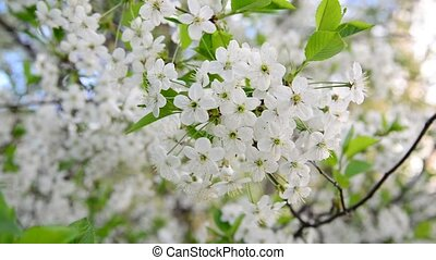 cherry tree branch with white flowers - cherry tree branch...