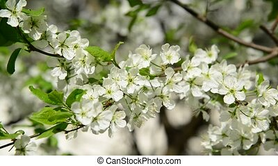 cherry tree branch with white flowers