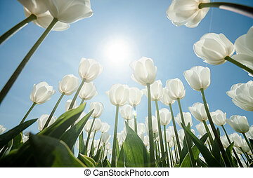 Sunny tulip field with white tulips - White tulips flowers...