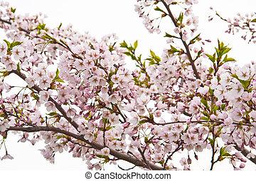 sakura blooming flowers, horizontal shot
