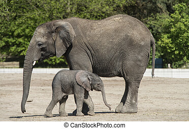 African elephant with calf - african Elephant with 1 week...