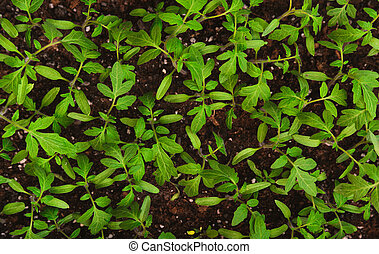 lush foliage of green tomato seedling - top view of small...