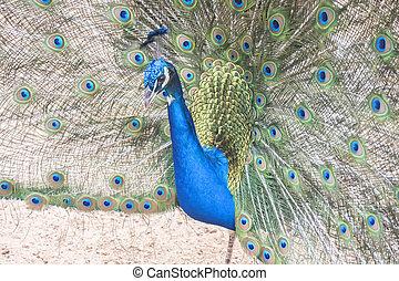 Pavo cristatus, Indian peafowl