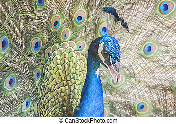 Pavo cristatus, Indian peafowl