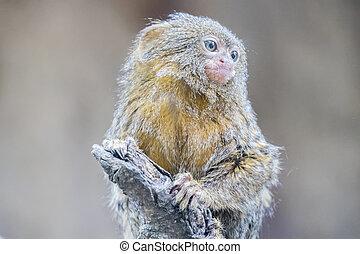 callithrix, mono tití,  pygmaea, pigmeo
