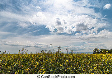 landscape of rapefield and cloudy blue sky - landscape of...
