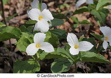 White Trillium Trillium grandiflorum blooming in woodlands...