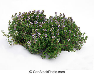 tuft of thyme - aromatic plant tuft photographed outside