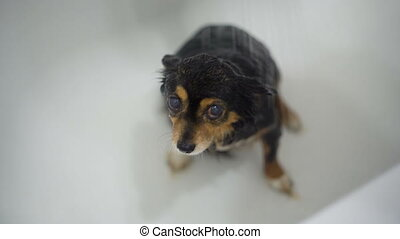 Small Dogwet dog after Bathing - funny moscow toy terrier...