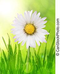 Daisy flowers in dewy grass Spring season