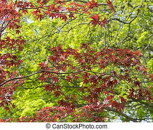 Acer - acer in spring