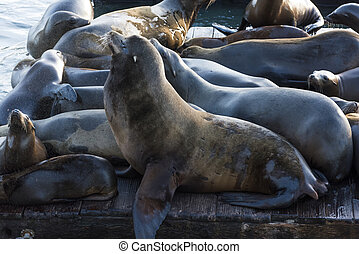 Sea Lions - California sea lions Zalophus californianus can...