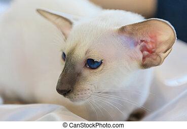 azul, retrato, ojos, gato