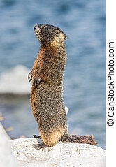 Yellow-bellied marmot (Marmota flaviventris) from the Grand...