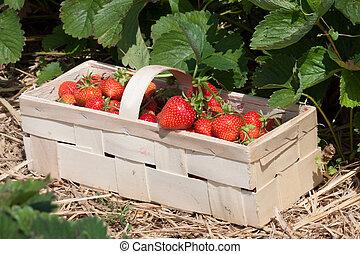 Strawberries in the basket - Freshly picked strawberries in...