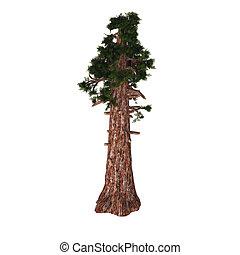 Giant Redwood Tree - Sequoiadendron giganteum giant sequoia,...