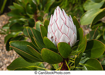 king protea flower bud - closeup of white king protea flower...