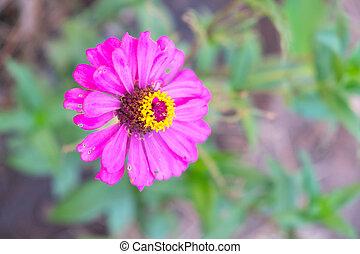 Pink Zinnia Tree , Pink Zinnia closeup , Focus top carpel