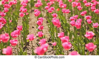 Pink tulips in early morning.