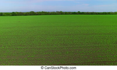 Flying over the field of green peas. Aerial survey