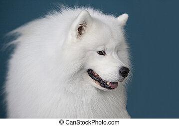藍色, 在上方, 被隔离, 狗, 背景, 微笑,  sammy