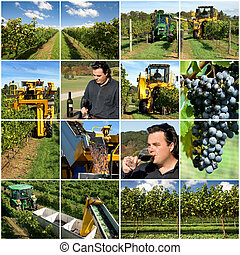 wine Production - Production scenes from a vineyard,...