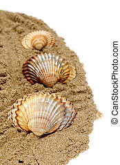 seashells - some seashells on the sand on a white background