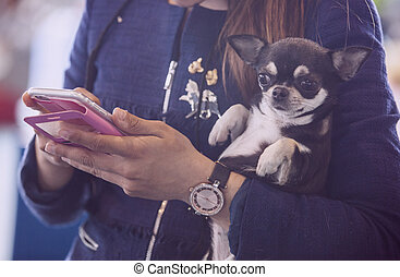 Chiwawa dog over woman arms while she looks her mobile phone...