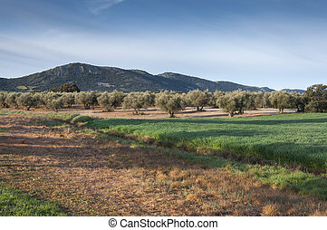 Olive groves and barley fields in an agricultural landscape...