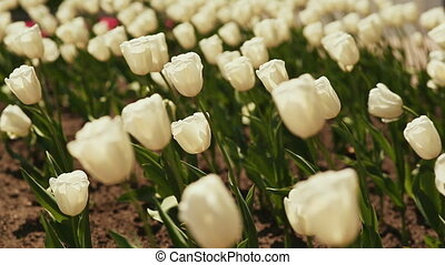 White tulips in early morning. - Field with white tulips in...