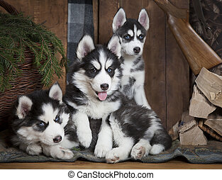 Puppies of Siberian Husky dog - Three adorable puppies of...