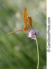 Silver-washed Fritillary butterfly - Male Silver-washed...
