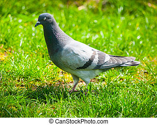 Pigeon in the grass - Feral pigeon, Columba livia domestica,...