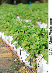 Water saving drip irrigation system being used in strawberry...