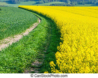 Yellow field of rape plant, used for making canola oil or...