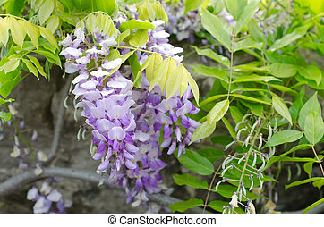 Wisteria flower growing over some rocks