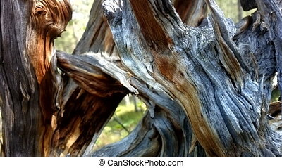 Wonderful twisted old dead tree behind which sways young and...