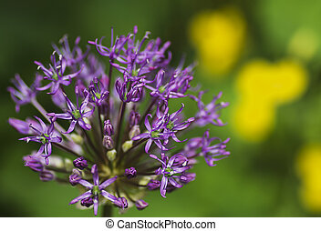 close-up of blooming purple ornamental onion with a bee that...