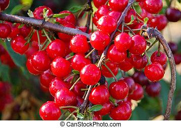 Sauerkirsche - sour cherry 06