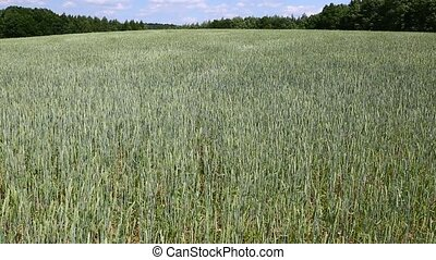 Wheat Field Breeze - Cereal field in summer breeze