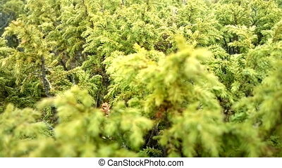Lush green juniper with flat tops swinging in wind - Lush...