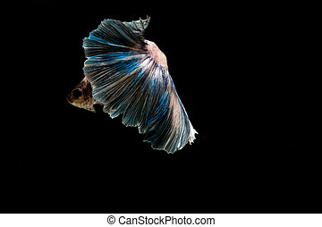 betta fish, siamese fighting fish on black background