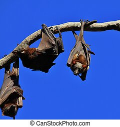 Flying foxes hanging on a tree - Big fruit bats living in...
