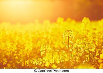 Rapeseed field - Springtime - rapeseed field at the sunset
