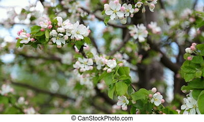 blossoming apple-tree in spring