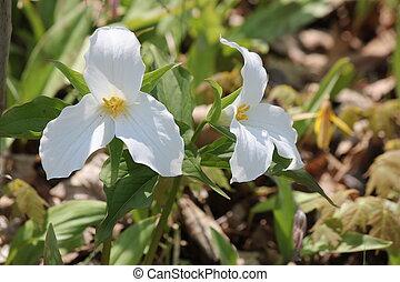 Trillium grandiflorum White - White Trillium Trillium...