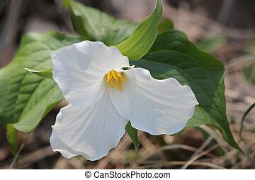 Trillium grandiflorum (White) - White Trillium (Trillium...