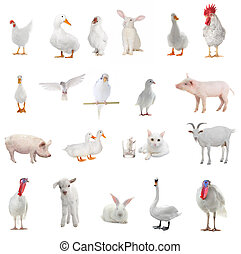 livestock - white livestock on a white background